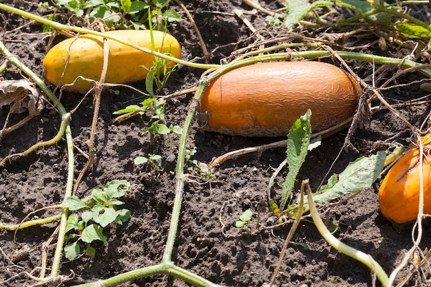 Fully ripe and yellowed cucumbers