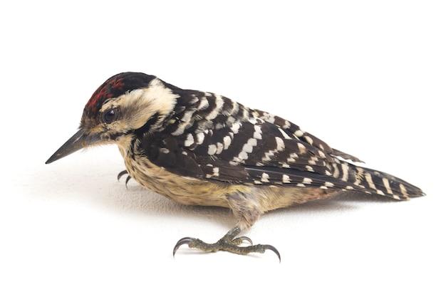 Птица-дятел с большой грудью