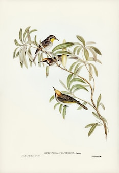 Fulvous-fronted honey-eater (glyciphila fulvifrons) illustrated by elizabeth gould