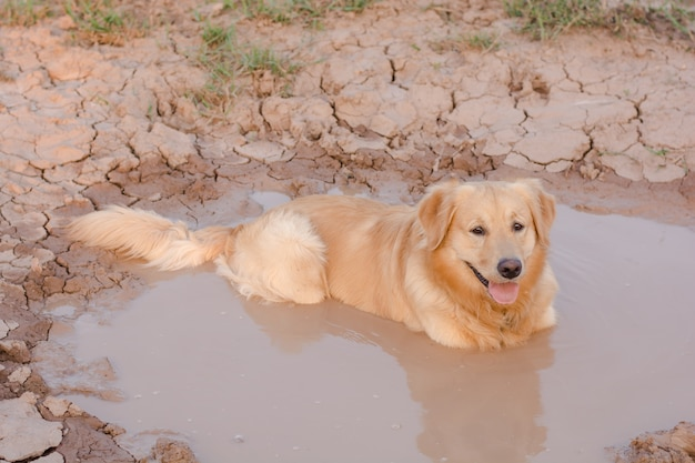 楽しいゴールデンレトリーバー犬は、泥の中で遊ぶ