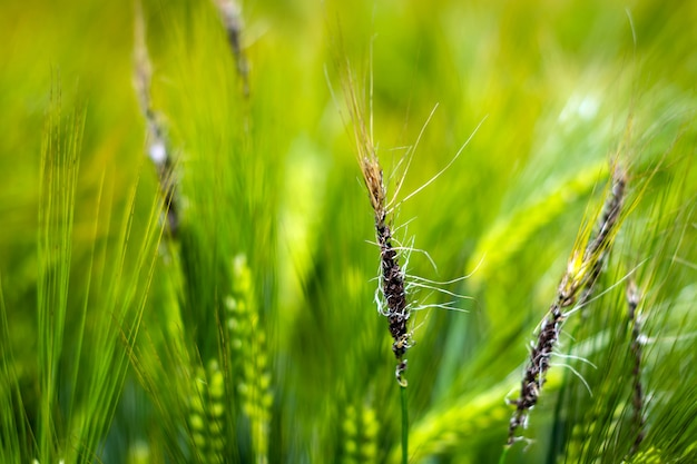 Fungal diseases on the ear of brewing barley.