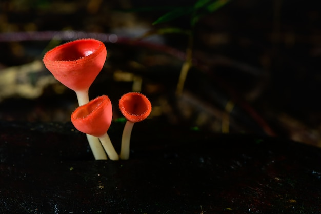 Fungi cup red mushroom champagne cup or pink burn cup