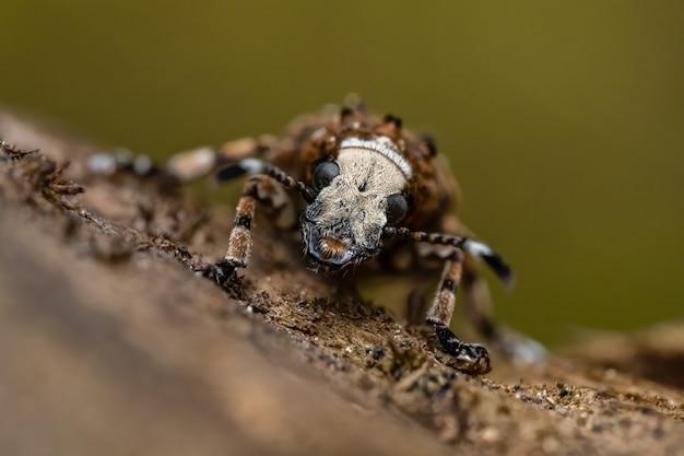 나무 줄기에 앉아 곰팡이 바 구미 (platystomos albinus)