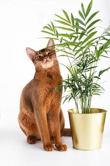 Смешной абиссинский кот сидит у растения на белом фоне