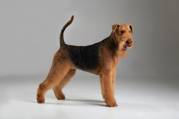 Funny airedale terrier