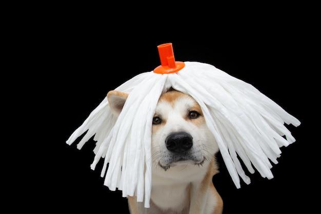 Забавная собака акита празднует карнавал с белым париком из швабры