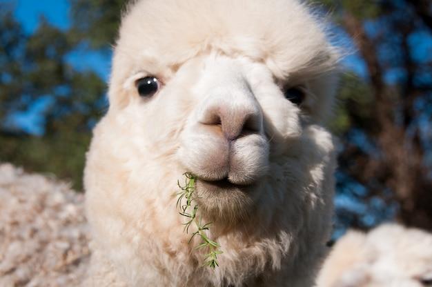 Funny alpaga cute cria baby face