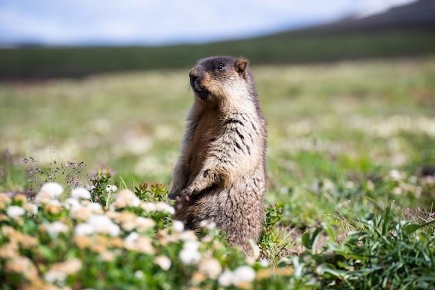 Funny alpine marmot, standing alpine marmot, close portrait of marmot
