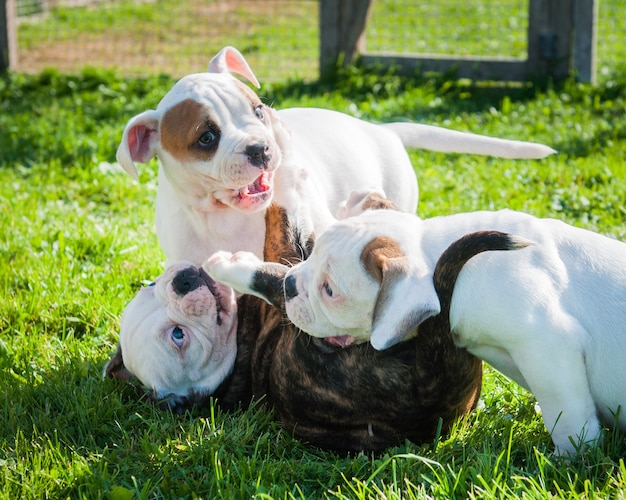 Funny american bulldog puppies are playing on nature.