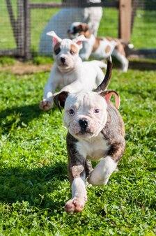 Забавные щенки американского бульдога играют на траве