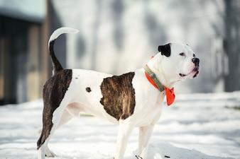 Funny American bulldog runs around a winter park