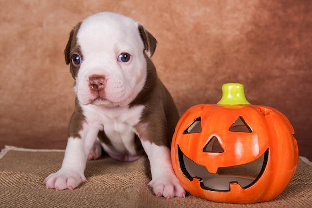 茶色の背景に面白いアメリカンブリーの子犬