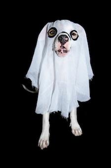 Diyの幽霊の衣装を着てハロウィーンやキャニバルを祝う面白いアメリカンスタッフォードシャー。黒の背景に分離