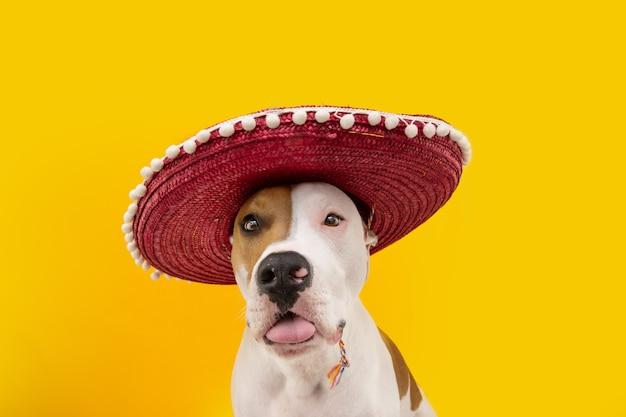 メキシコ人に扮したカーニバルやハロウィーンを祝う面白いアメリカンスタッフォードシャー犬。黄色の背景に分離