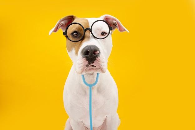 재미있는 american staffordshire 개는 카니발, 할로윈 또는 새해를 축하하는 의사로 분장했습니다. 노란색 표면에 절연