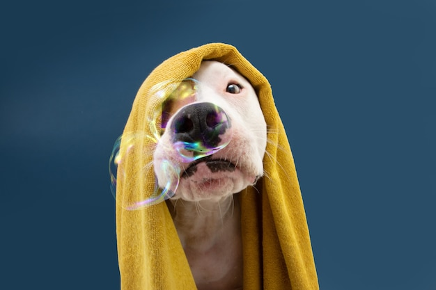 Funny american staffordshire dog ready to take a a shower wrapped with a yellow towel. animal on blue colored background with bubbles puppy summer season