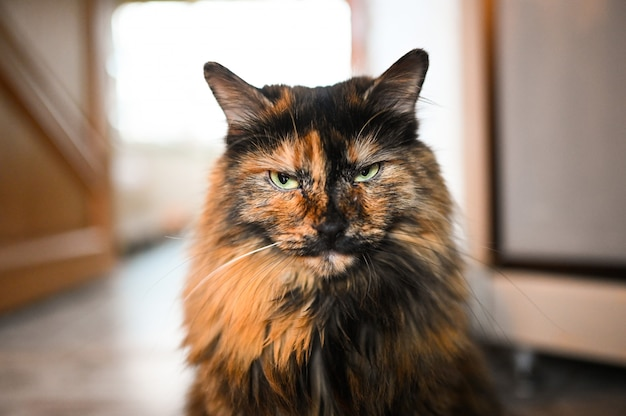 Funny angry fluffy calico cat with green eyes