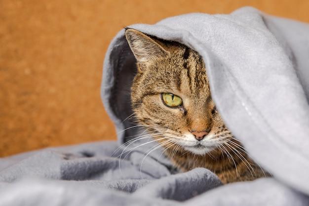 屋内の格子縞の下のソファに横たわっている面白い傲慢な飼い猫。寒い秋、秋、冬の天候の中で、毛布の下に暖かく隠れて家で休んでいる子猫。ペットの動物の生活ヒュッゲ気分のコンセプト。