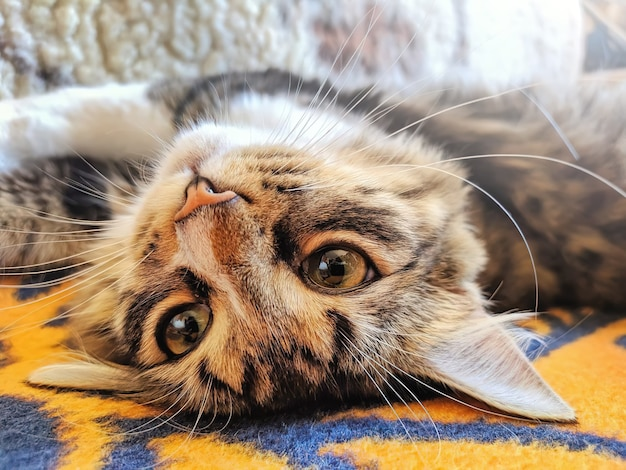 Funny attractive cat lays on his back on bed in morning sun lights