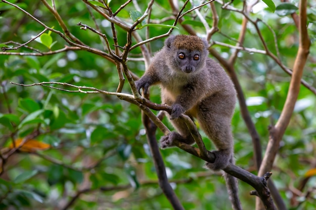 The funny bamboo lemur on a tree branch watching the visitors