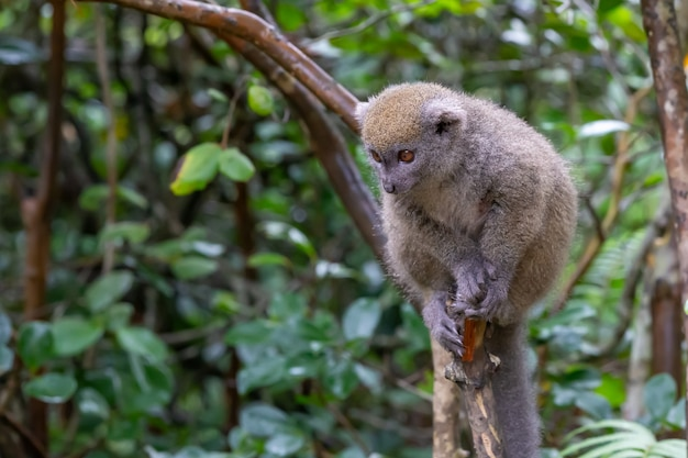 Funny bamboo lemur on a tree branch