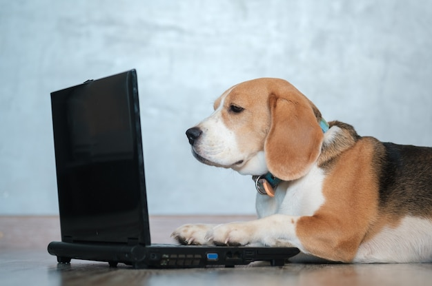 Funny beagle dog looks at the laptop screen and keeps his paws on the keyboard lying on the floor. imitation of work at the computer