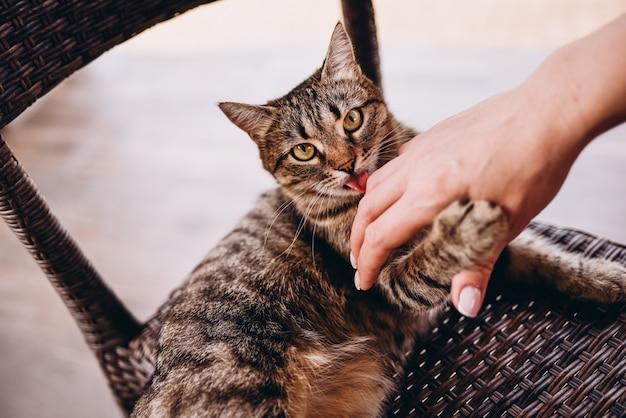 Забавный красивый милый бенгальский кот лижет палец