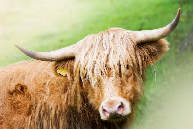 Funny and beautiful hairy highland cow, scottish symbol