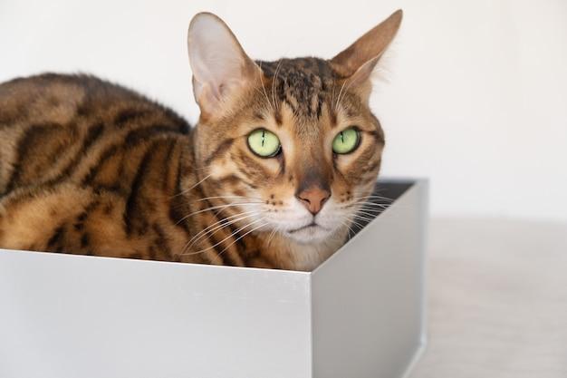 Забавный бенгальский кот прячется в картонной коробке на кровати на поверхности белой стены