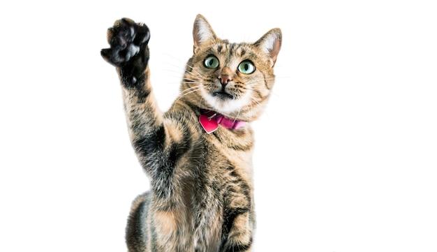 핑크 칼라의 재미있는 벵골 고양이가 발을 흔들고 카메라를 들여다 본다.