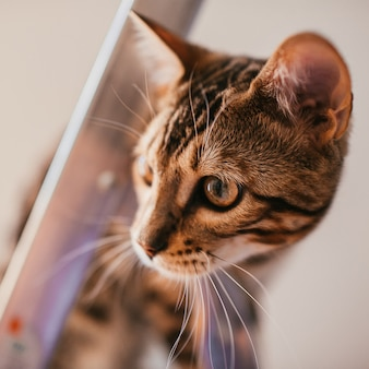 Funny bengal cat plays on the steel ladder