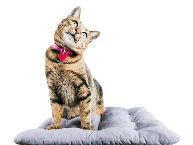 Забавный бенгальский кот сидит на мягкой подушке и склоняет голову набок.
