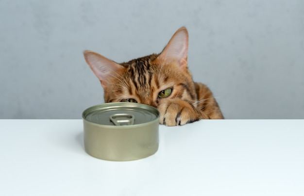 Funny bengal cat tries to steal wet food from the table