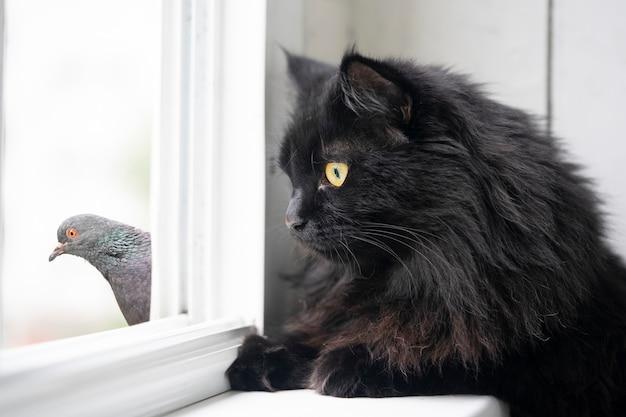 재미있는 검은 고양이와 비둘기는 여름에 창문을 통해 서로를 봅니다.