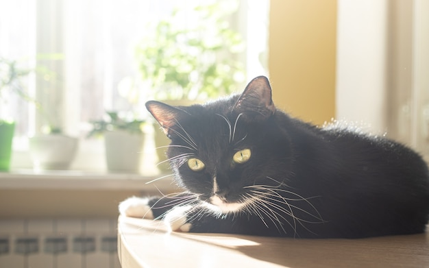 Funny black cat is lying on table near window with green house plants and basking in sun. cozy home interior with pet. selective focus.