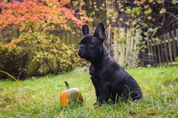 面白い黒フレンチブルドッグ犬とカボチャ