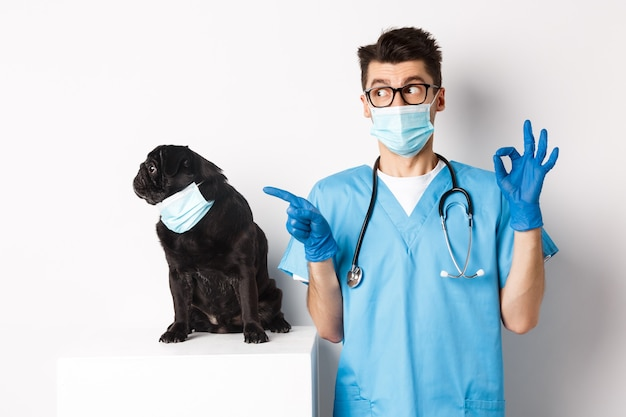 Funny black pug dog wearing medical mask, sitting near handsome veterinarian doctor showing okay sign, white.