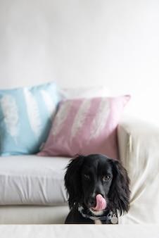テーブルのそばのソファの近くに座っている面白い黒いスパニエル犬