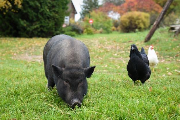 Забавная черная вьетнамская свинья во дворе в деревне с курицами
