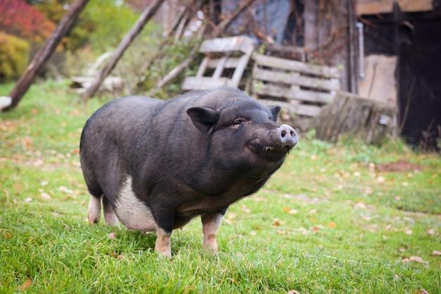 Забавная черная вьетнамская свинья во дворе в деревне