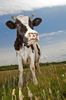 Funny, black and white spotted cow  with squinty eyes staying in a meadow