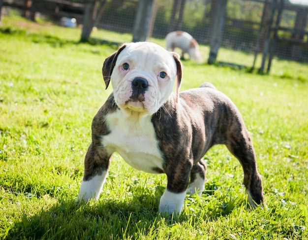 Funny brindle coat american bulldog puppy dog