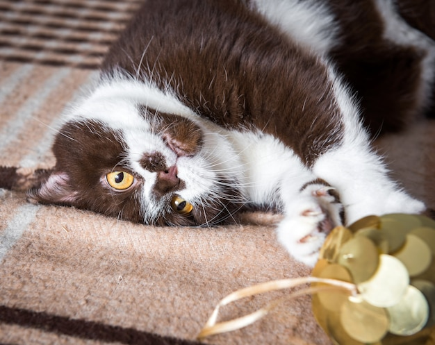 Funny british cat chocolate color is playing with the christmas ball on a blanket