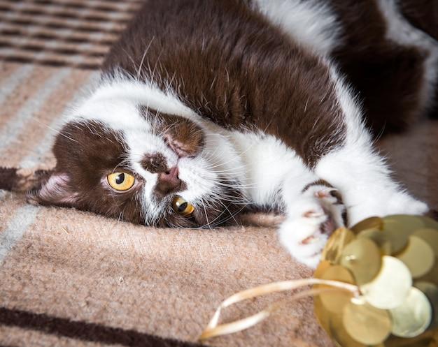 Забавный британский кот шоколадного окраса играет с елочным шаром на одеяле