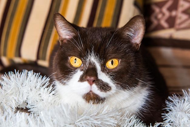 Забавный британский котик шоколадного окраса играет с новогодней гирляндой на одеяле