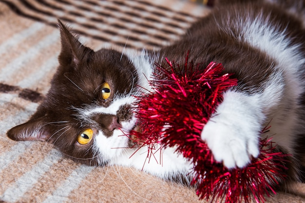 Забавный британский котик шоколадного окраса играет