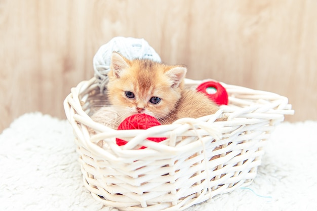 Funny british kitten sitting in a basket with balls of threads.