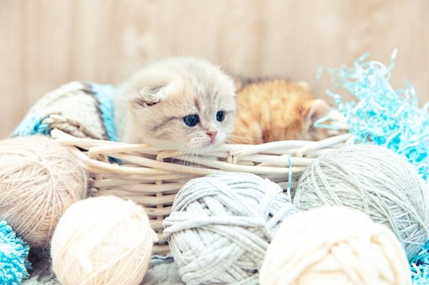 실 공이 있는 바구니에 앉아 있는 재미있는 영국 고양이.