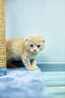 Забавный британский короткошерстный котенок играет, царапает кошачье дерево дома, маленький домашний питомец