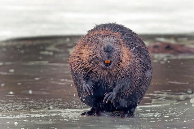 재미있는 갈색 미국 비버 (캐스터 속) 겨울에 얼어 붙은 호수에 앉아